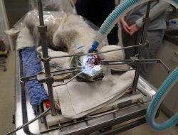 Kangaroo Dental Procedure